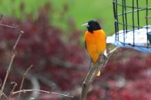 A Baltimore oriole in Berlin, photographed by Al Collinson.