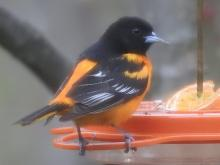 A Baltimore oriole in Wayland, photographed by Margo Levy.