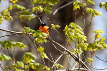 A Baltimore oriole in Bolton, photographed by Jon Turner.