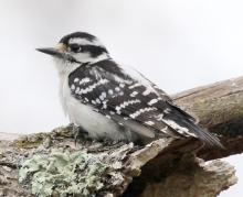 A downy woodpecker at Breakneck Hill Conservation Land in Southborough, photographed by Steve Forman.
