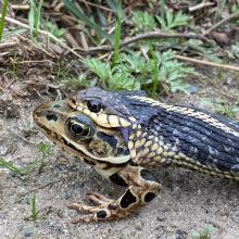 A common garter snake eating a northern leopard frog in Sudbury, photographed by Sarah Macone.