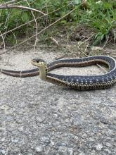 A common garter snake after a meal in Sudbury, photographed by Sarah Macone.