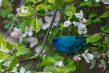 An indigo bunting in Stow, photographed by Guy Washburn.