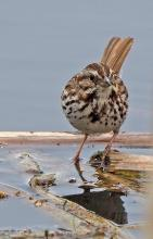 A song sparrow in Sudbury, photographed by Joan Chasan.