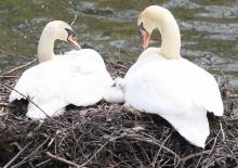 Mute swans at Fisk Pond in Natick, photographed by Steve Forman.