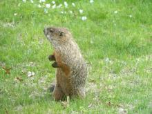 A woodchuck in Lincoln, photographed by Harold McAleer.