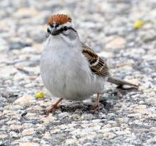 A chipping sparrow at Farm Pond in Framingham, photographed by Steve Forman.