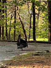 A turkey in Wayland, photographed by Shelley Trucksis.