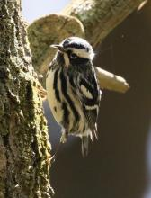 A black-and-white-warbler in Hopkinton, photographed by Steve Forman.