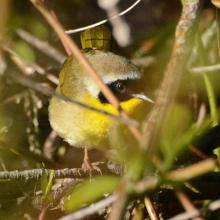 A common yellowthroat at Great Meadows National Wildlife Refuge in Sudbury, photographed by Ron McAdow.