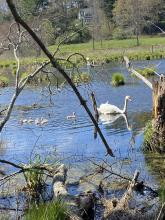 A mute swan and cygnets at SVT's Lyons-Cutler Reservation in Sudbury, photographed by Richard Morse.