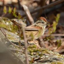 A swamp sparrow at Great Meadows National Wildlife Refuge in Sudbury, photographed by Ron McAdow.