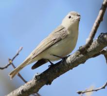 A warbling vireo at Hager Pond in Marlborough, photographed by Steve Forman.