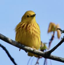 A yellow warbler at Hager Pond in Marlborough, photographed by Steve Forman.