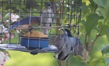 An eastern bluebird, downy woodpecker, and white-breasted nuthatch (L-R) in Berlin, photographed by Al Collinson.