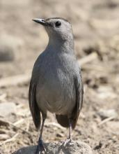 A gray catbird in Southborough, photographed by Steve Forman.