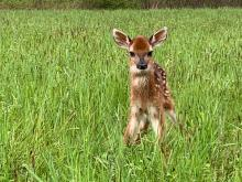A white-tailed deer fawn at Heard Farm in Wayland, photographed by Sian Cox.