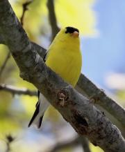 An American goldfinch at Hager Pond in Marlborough, photographed by Steve Forman.