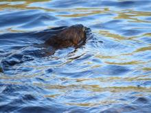 A muskrat at Dell Park Cemetery in Natick, photographed by Mary Hudson.