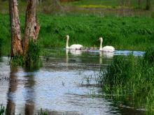 Mute swans at SVT's Lyons-Cutler Reservation in Sudbury, photographed by Rich Hellmold.