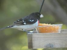 A rose-breasted grosbeak in Wayland, photographed by Shelley Trucksis.