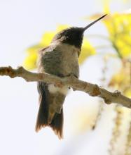 A ruby-throated hummingbird in Southborough, photographed by Steve Forman.