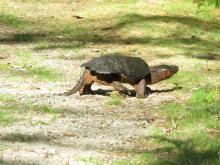 A snapping turtle at Dell Park Cemetery in Natick, photographed by Mary Hudson.