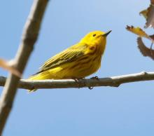 A yellow warbler in Southborough, photographed by Steve Forman.