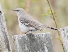 A northern mockingbird in Southborough, photographed by Steve Forman.