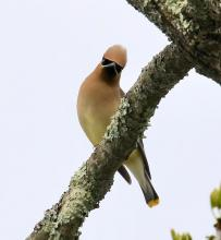 A cedar waxwing at Hager Pond in Marlborough, photographed by Steve Forman.