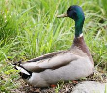 A mallard at Grist Mill Pond in Sudbury, photographed by Steve Forman.