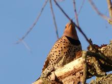 A northern flicker in Concord, photographed by Terri Ackerman.