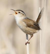 A marsh wren at Great Meadows in Concord, photographed by Steve Forman.