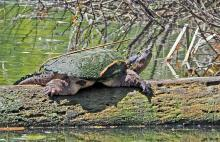 A snapping turtle in Sudbury, photographed by Joan Chasan.