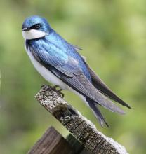 A tree swallow in Harvard, photographed by Steve Forman.