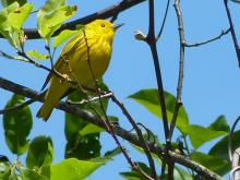 A yellow warbler in Concord, photographed by Terri Ackerman.