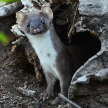 A long-tailed weasel in Lincoln, photographed by Ron McAdow.