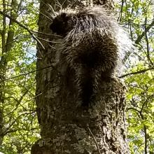 A porcupine at Forty Caves Conservation Area in Berlin, photographed by Alice Howe.