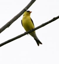 An American goldfinch in Southborough, photographed by Steve Forman.