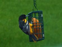 A Baltimore oriole in Westborough, photographed by John Carter.