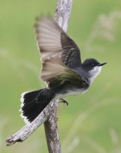 An eastern kingbird in Southborough, photographed by Steve Forman.
