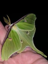 A luna moth in Concord, photographed by Dawn Dentzer.