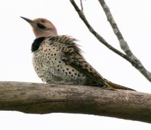 A northern flicker in Southborough, photographed by Steve Forman.