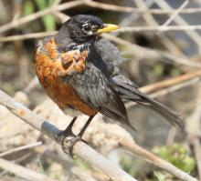 An American robin in Southborough, photographed by Steve Forman.