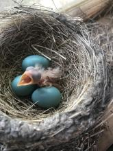 An American robin hatchling in Concord, photographed by Steve Ledoux.