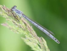 A damselfly at Grist Mill Pond in Sudbury, photographed by Steve Forman.