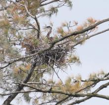 A great blue heron at a nest on the Sudbury Reservoir in Southborough, photographed by Steve Forman.