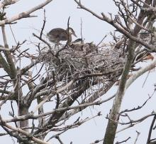 Great blue herons at a nest on the Sudbury Reservoir in Southborough, photographed by Steve Forman.