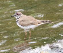 A killdeer at Hager Pond in Marlborough, photographed by Steve Forman.