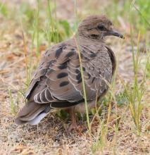A mourning dove in Southborough, photographed by Steve Forman.